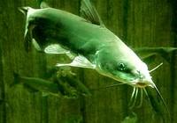 钓鲶鱼时我们应注意的渔具及钓位技巧