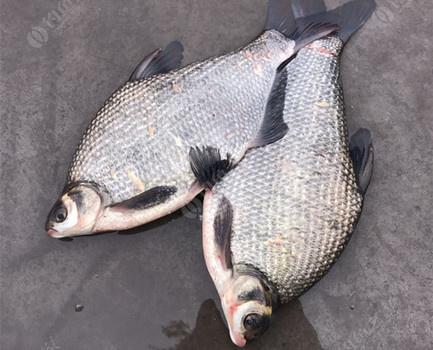 浅谈春季野钓鳊鱼的3大技巧