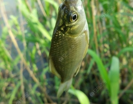 【原創】大鯽大鯉不給力,另辟蹊徑一樣爽 蚯蚓餌料釣鯽魚