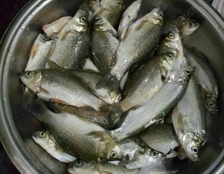 今天母親節,不想問候你媽媽 老鬼餌料釣鯽魚
