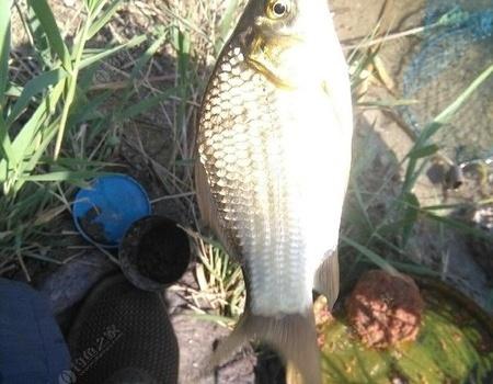葦根叢中殺出一條血路 蚯蚓餌料釣鯽魚