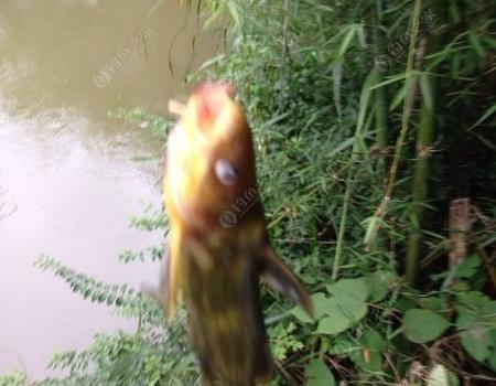 再战野河 收获依然惨淡 蚯蚓饵料钓黄颡鱼