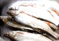 釣魚人分享野釣白條魚技巧