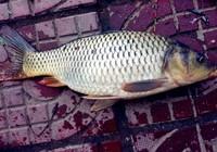 夏季水库钓鲤鱼用什么饵窝料配方?
