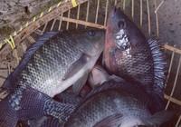 夏钓罗非鱼饵料使用的一些技巧