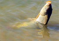 鲤鱼野钓饵料选什么?怎么选