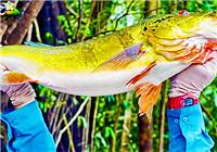 《YUYUE會》第20160812期 2015南美行亞馬遜篇PT7,17磅三間孔雀鱸