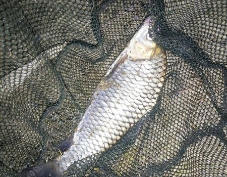 首次在乌江钓到草鱼