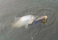 竞技钓比赛快速钓小鱼技巧分享