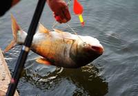 自制钓鲢鳙和青鱼的饵料与窝料,简单易学还方便!