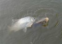 春季钓鲫鱼用饵配方的选择与使用