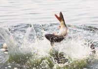 垂钓鲤鱼饵料的自制技巧
